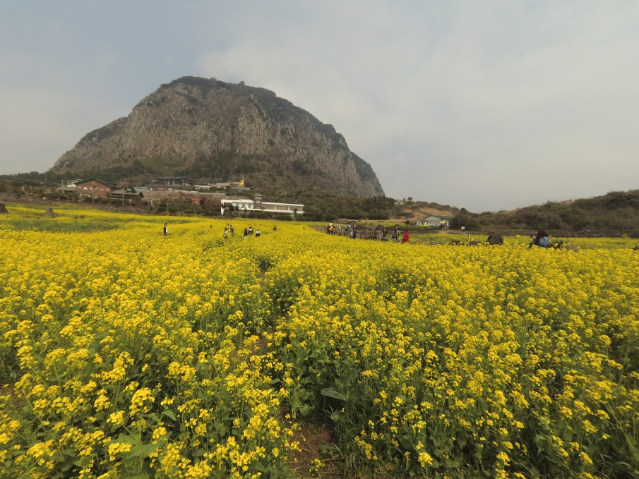 Mount Sangbansan dengan canola flowernya